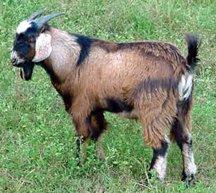 Fias Co Farm- Breeds of Goats