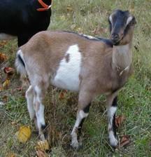 fias co farm goats  nadia oglethorpe